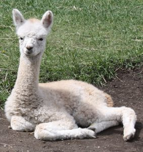 Baby alpaca (cria) in Alberta